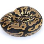 ball python, super leopard