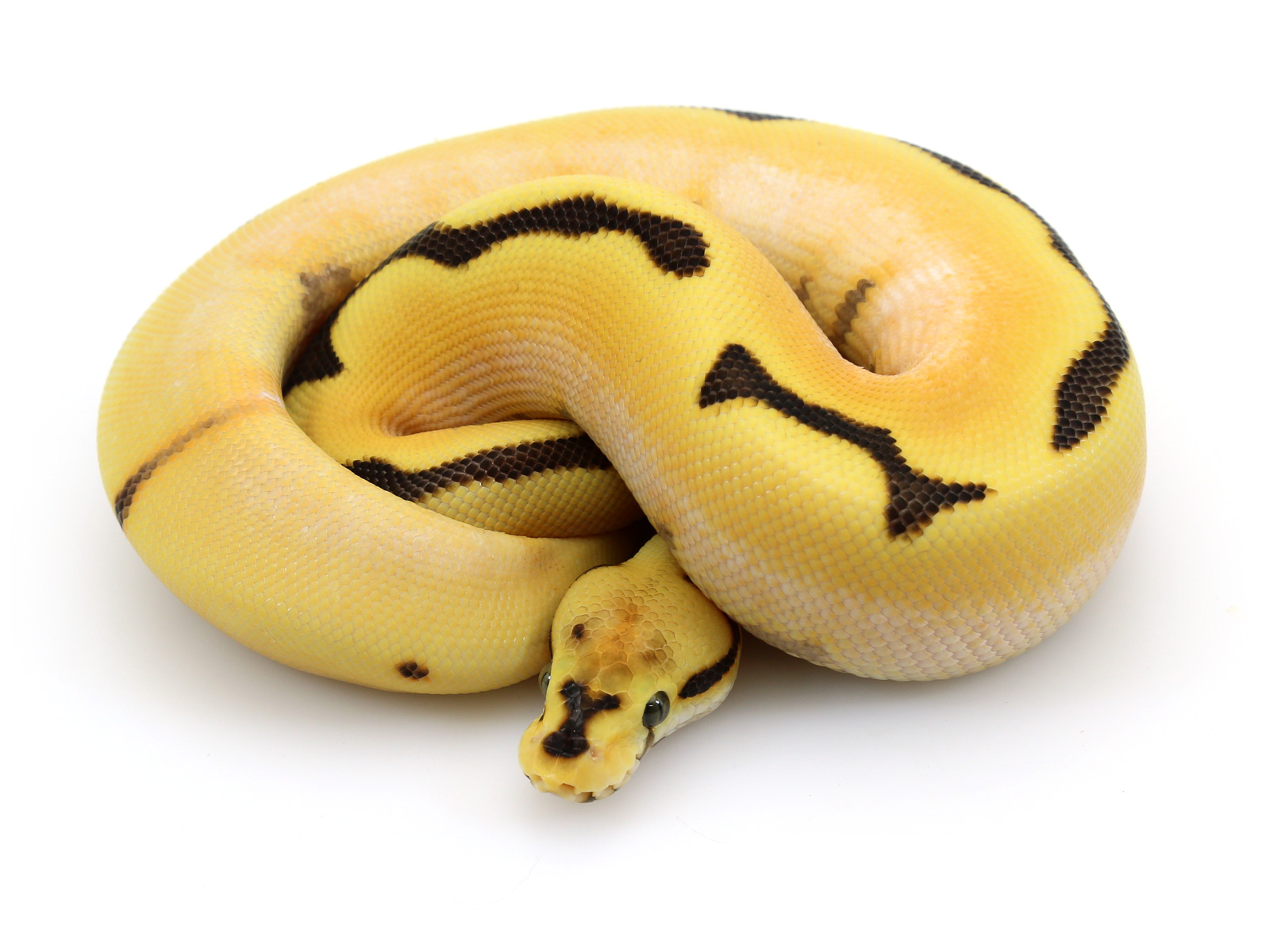 Super Orange Dream Yellow Belly Spider Fire Markus Jayne Ball Pythons