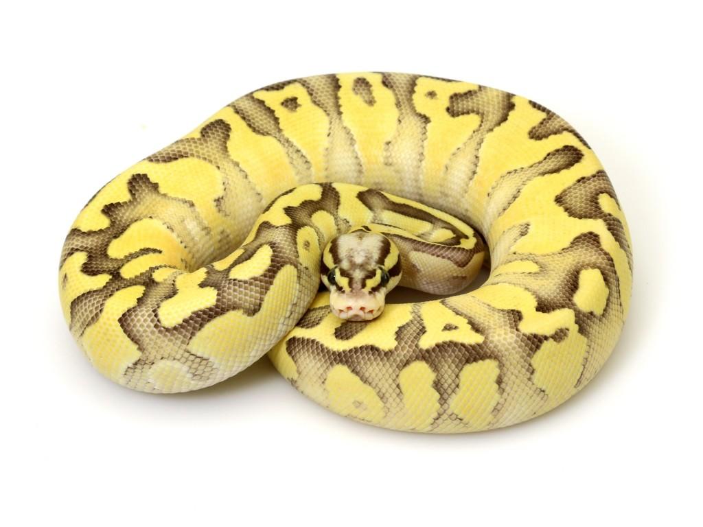 super pastel butter fire � markus jayne ball pythons