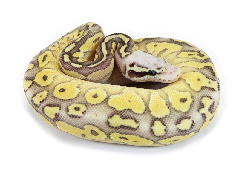 Ball Python, Super Pastel Butter Vanilla