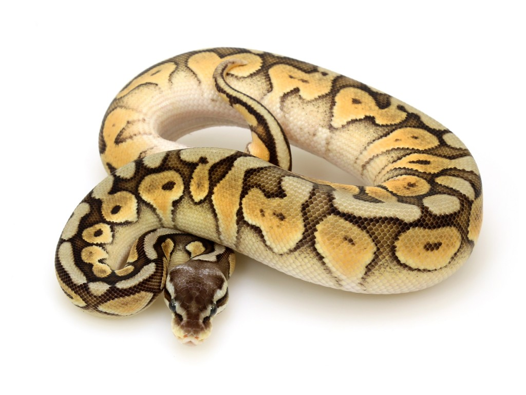 Available Ball Pythons  Albeys Too Cool Reptiles