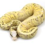 ball python, super pastel vanilla fire
