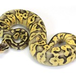 super-pastel-yellow-belly