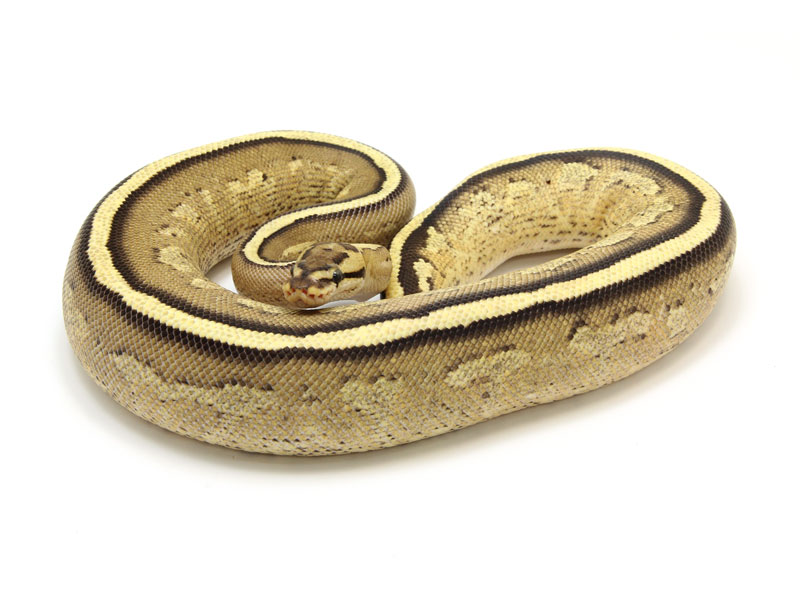 ball python, super stripe