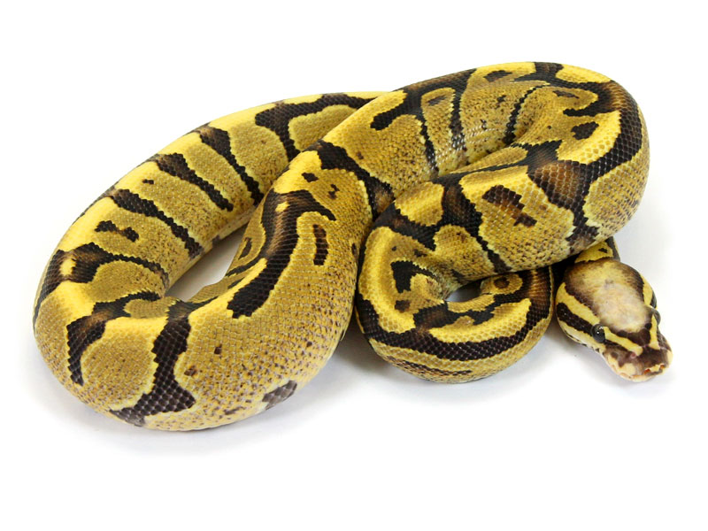 Ball Python, Super Vanilla