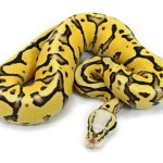 Ball Python, Super Vanilla Pastel