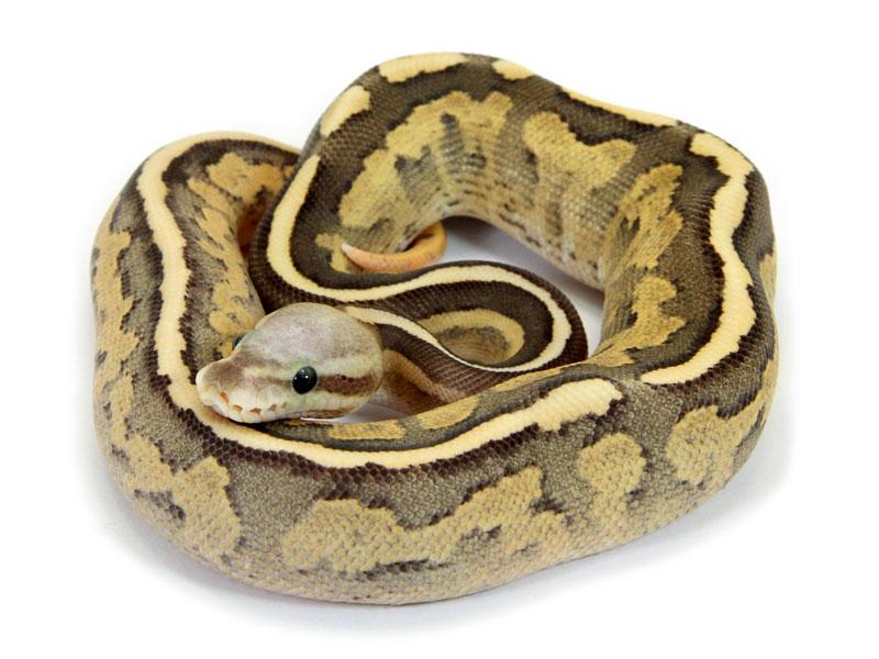 Ball Python, Vanilla Cinnamon Fire