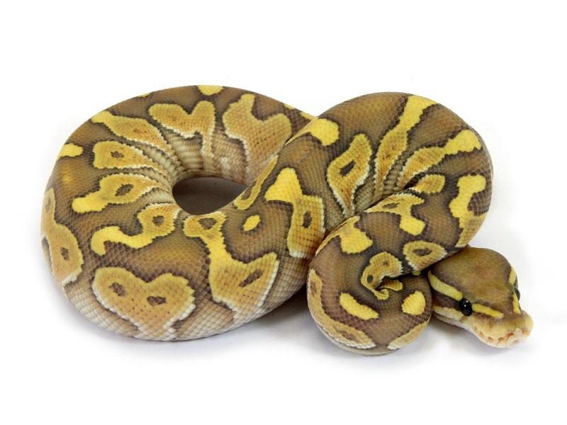 Ball Python, Vanilla Ghost