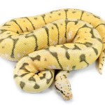 Ball Python, Vanilla Killer Bee