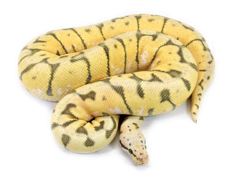 Ball Python, Vanilla Killer Bee