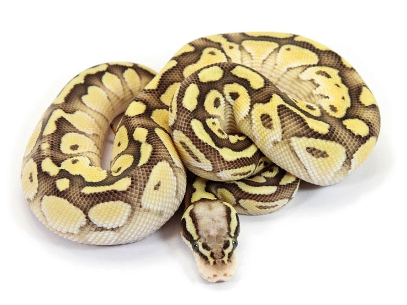 Ball Python, Vanilla Pastel Butter