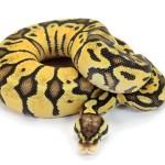 Ball Python, Vanilla Pastel