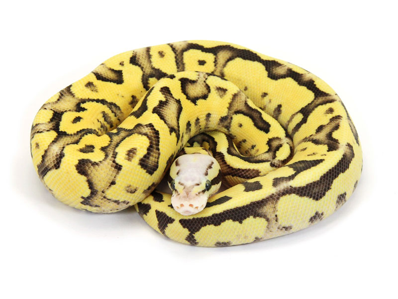 Ball Python, Vanilla Pastel Fire