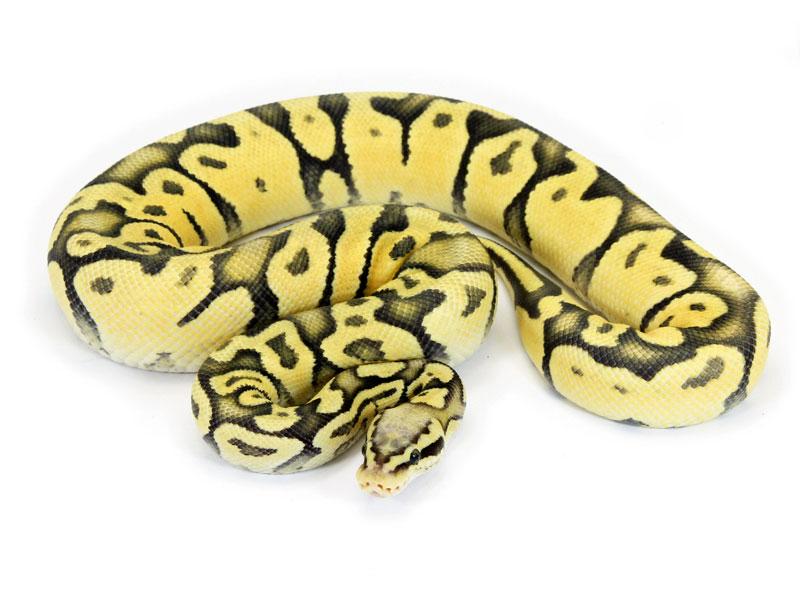 Ball Python, Vanilla Pastel Ghost