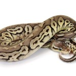 Ball Python, Vanilla Pewter