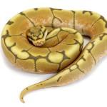 Ball Python, Vanilla Spider Ghost