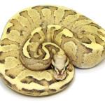 ball python, vanilla sulphur