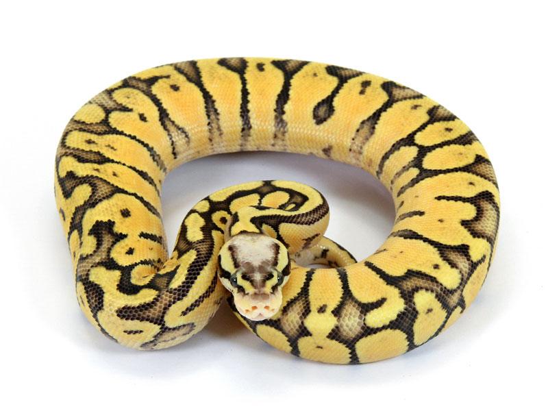 Ball Python, Vanilla Super Pastel