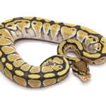 ball python, yellow ghost